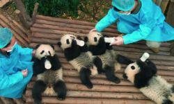 华纳纪录片《熊猫们》发布预告 大熊猫拜黑熊为师